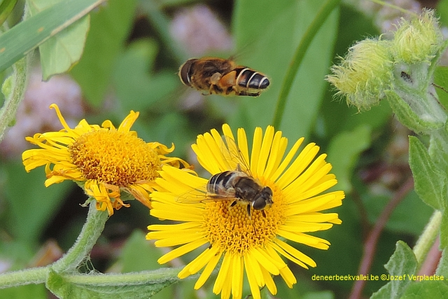 Baltsende Puntbijvlieg - Eristalis nemorum