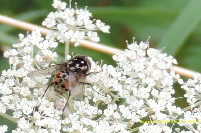 Graphomya maculata (man)