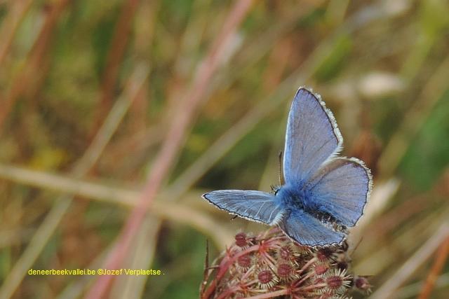 Icarusblauwtje - Polyommatus icarus man