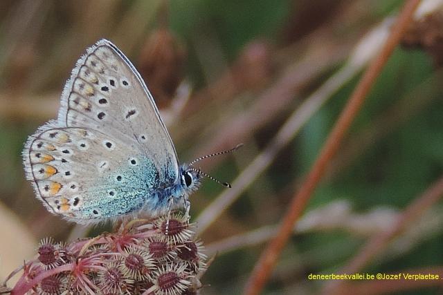 Icarusblauwtje - Polyommatus icarus man1