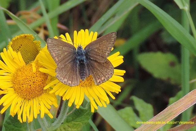 Icarusblauwtje - Polyommatus icarus vrouw