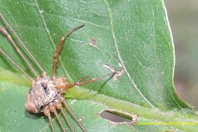 Strekpoot - Dicranopalpus ramosus1