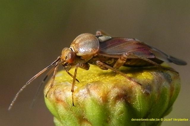 Weidewants (Lygus pratensis)1