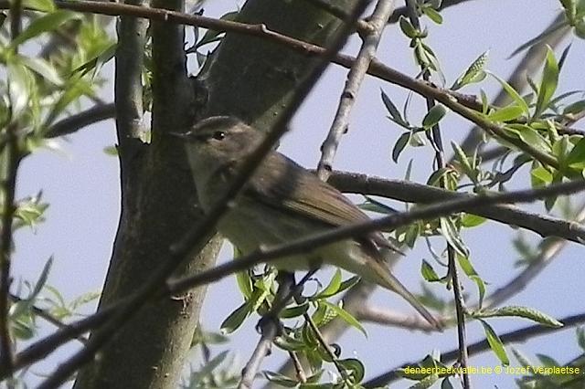 deneerbeekvallei.be Heggenmus (Prunella modularis)