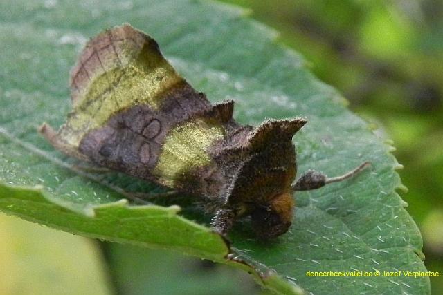 koperuil  (Diachrysia chrysitis)
