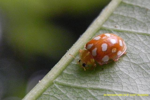 meeldauwlieveheersbeestje (Halyzia sedecimguttata)