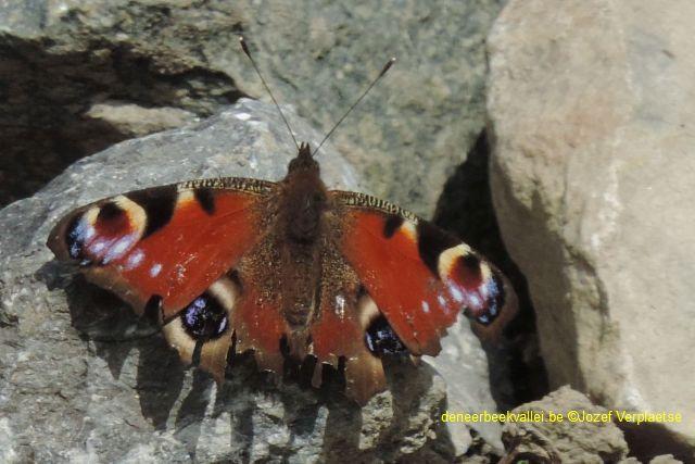 Dagpauwoog (Inachis io.)