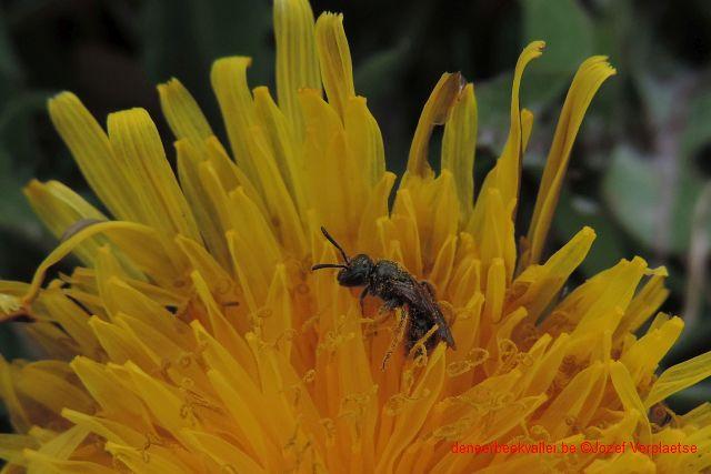 Kleine roetbij (Panurgus calcaratus)